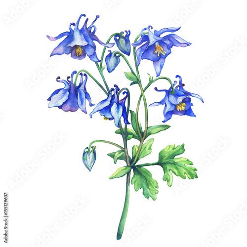 Fotografia The branch flowering blue Aquilegia (common names: granny's bonnet or columbine)