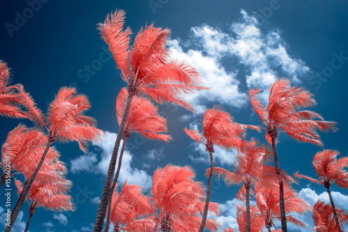 Wallpaper Mural Color Infrared Palm Trees and Sky at Key West, Florida