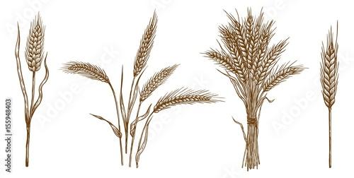 Fotografia ears of wheat. set of vector sketches