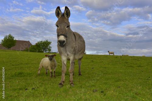 L'âne et le mouton, département de la Haute-Vienne en région Nouvelle-Aquitaine, France