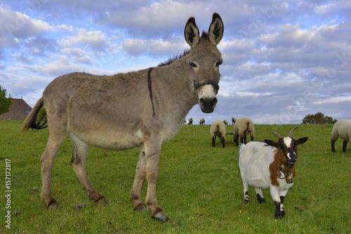 L'âne et la chèvre, département de la Haute-Vienne en région Nouvelle-Aquitaine, France