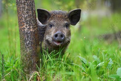 Fotografia Wild boar in forest