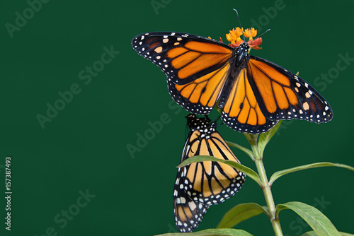 Carta da parati Two monarch butterflies are perched on a flower in the garden