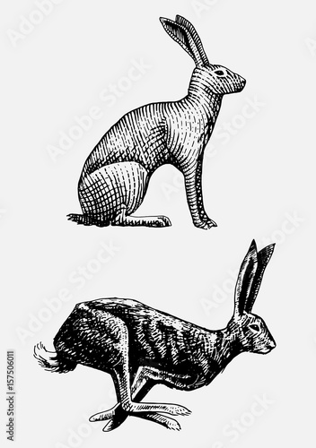 Fototapeta Rabbit or hare sitting and running hand drawn, engraved wild animals in vintage