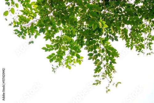 Murais de parede Green tree branch isolated