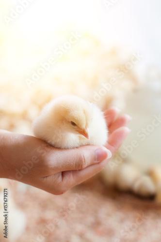 Fotografia Hand holding baby chick