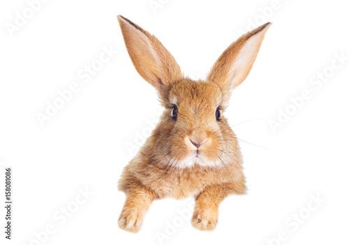 Funny redhead rabbit peeking Fototapete