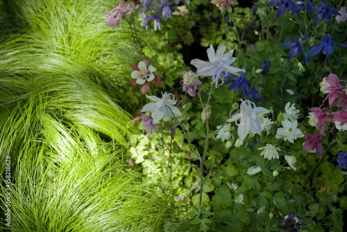 Different botanical / hybrid qualities of perennial aquilegia plants (ranuncolac Fototapeta
