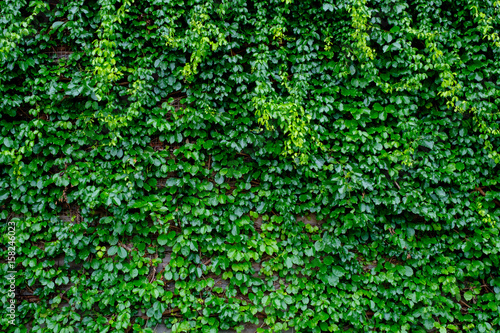 green ivy on wood background