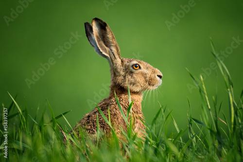 Fotografia, Obraz Wild European Hare Close-Up