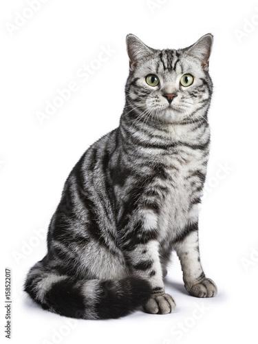 Wallpaper Mural Black tabby British shorthair cat sitting straight up on white background lookin