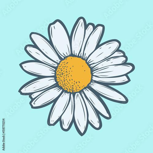 Valokuva Chamomile, camomile flower floral hand drawn engraving vector illustration