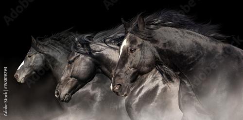 Black stallions with long mane run on dark background