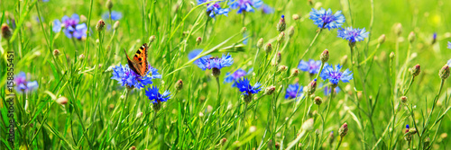 Fototapeta premium Pole kwiat kukurydzy i motyl.