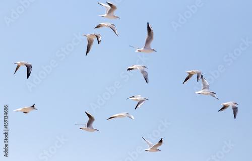 Canvas Print a flock of seagulls in flight