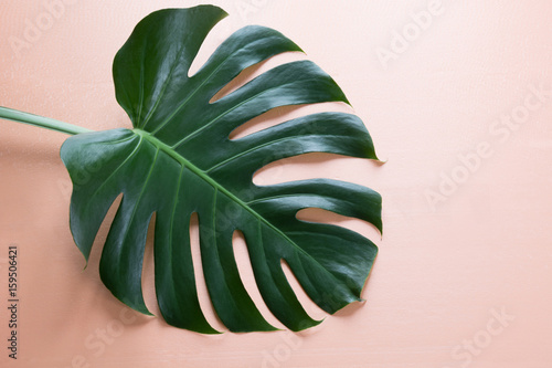 Single leaf of Monstera plant on pink background. Close up, isolated with copy space.