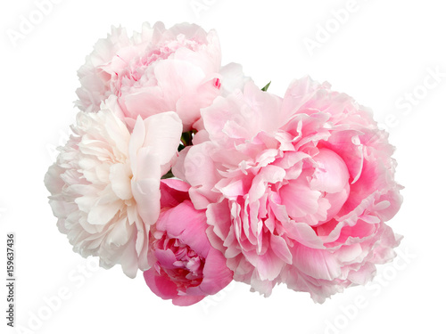 Stampa su Tela Pink peony flower isolated on white background
