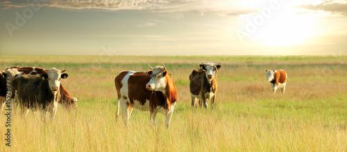 Obraz na plátne Calves on the field