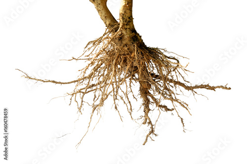Wallpaper Mural bare dead root tree isolated