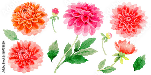 Fotografiet Wildflower dahlia flower in a watercolor style isolated.