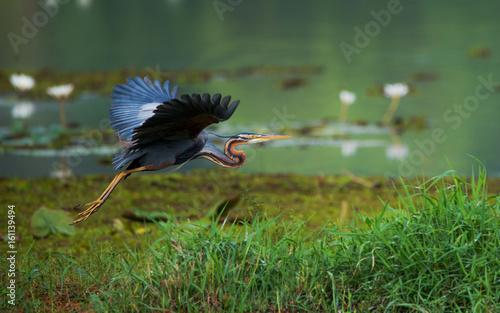 Purple heron flying around Fototapet