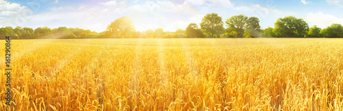 Weizenfeld mit Himmel im Sommer - Panorama