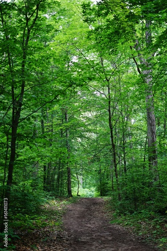 A path into the woods among tall gree trees