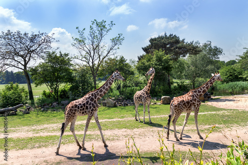 family of giraffes with a baby