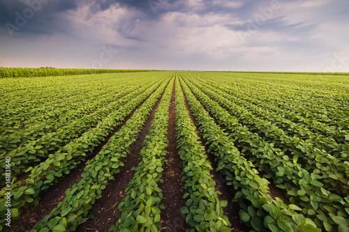 Obraz na plátně Agricultural soy plantation on sunny day - Green growing soybeans plant