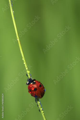 Ladybird on a stem