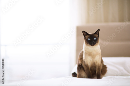 Wallpaper Mural Siamese cat sitting on the bed