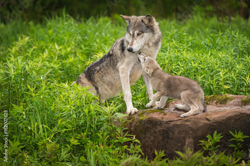 Fototapeta Grey Wolf (Canis lupus) Pup Begs From Adult