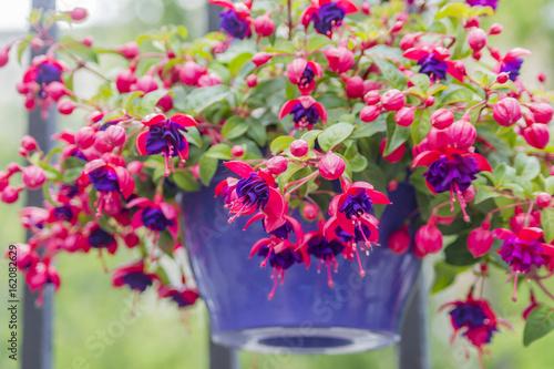 Canvas-taulu closeup of Fuchsia, hanging flower in purple pot.