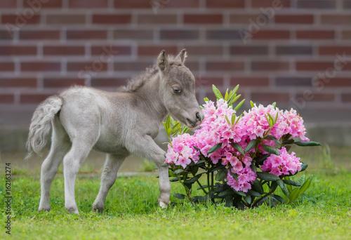 Obraz na płótnie HF NOBLE'S GULLIVER - world's smallest horse 2017 year