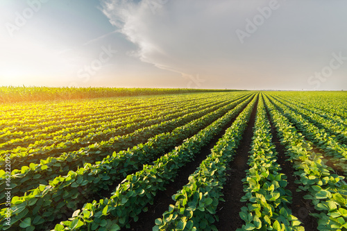 Fototapeta Agricultural soy plantation on sunny day - Green growing soybeans plant