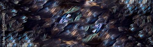 Fototapeta Naturalne ciemne pióra z kolorowym połyskiem ścienna