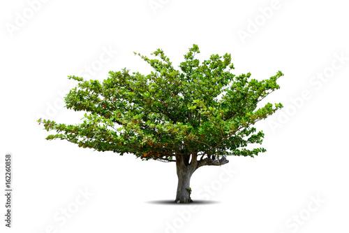 Canvas Isolated beach almond tree