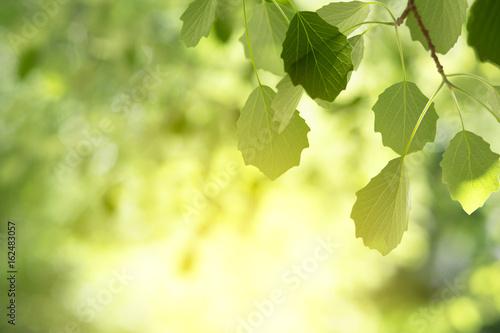 Obraz na plátně Beautiful spring nature background with poplar foliage