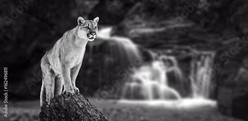 Puma at the Falls, mountain lion, puma