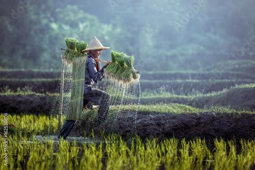 Canvas Print Farmers grow rice in the rainy season