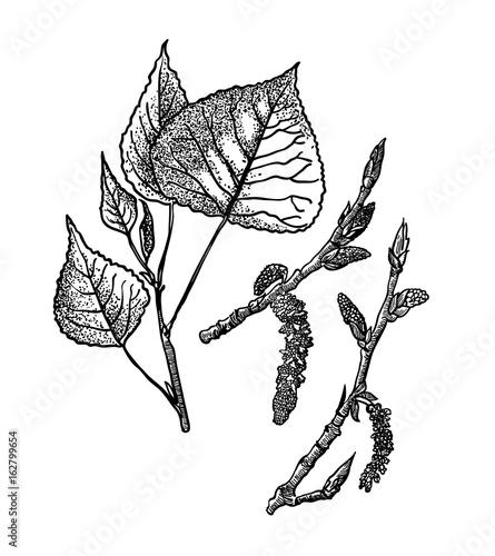 Fényképezés Vector leaves, flowers and fruits of the poplar