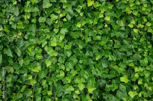 Carta da parati Ivy