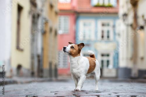 Fotografia jack russell terrier dog walking in the city