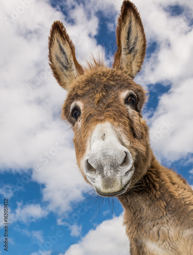 Canvas Print Portrait of a funny looking Cute fluffy donkey