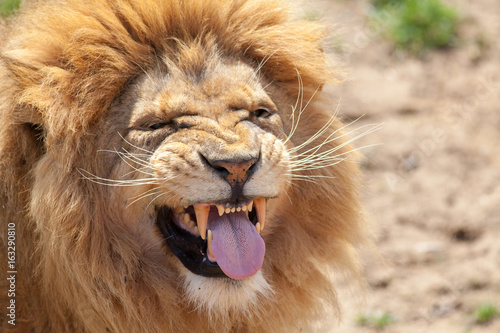 Fototapeta Lion pulling a funnny face. Animal tongue and canine teeth.