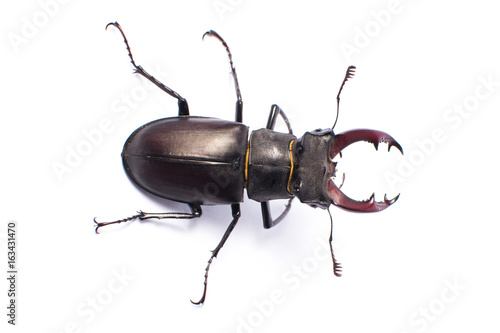 Photographie Beetle-deer male on white background