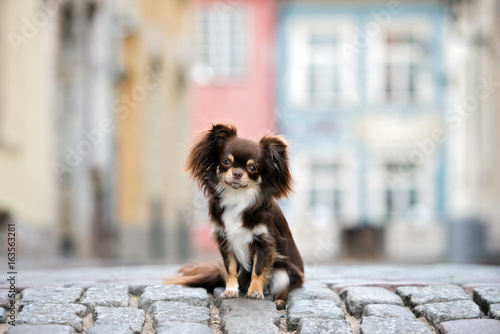 Canvas Print adorable brown chihuahua dog sitting on the street