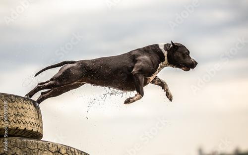 Fototapeta Terrier dog jumping in the water