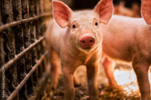 Fotografia Portrait of funny looking piglet