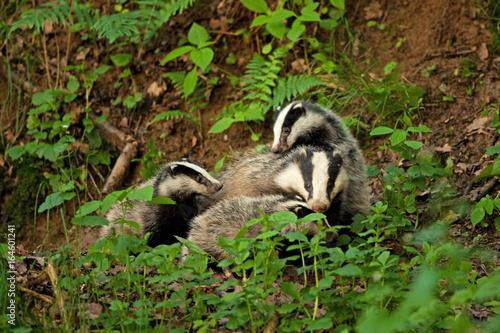 Foto european badger , meles meles, Czech republic